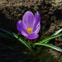 Первоцветы: крокус :: Дубовцев Евгений