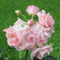 Нежный цвет розы :: Дмитрий Никитин