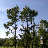 деревья как на юге :: Андрей