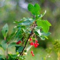 Красная смородина :: Yuri Mekhonoshin