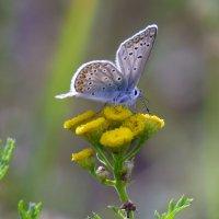 Голубянка на пижме :: Ната Волга