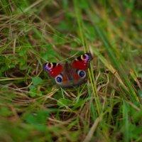 Последняя бабочка лета :: Рома Григорьев