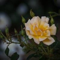 «…Розы желтые- символ надежды,Символ верности, вечной любви.…» :: Андрей Нибылица