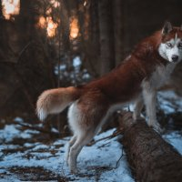 Домашний волк :: Artem Mihko