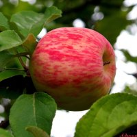 Про яблочко наливное.. :: Андрей Заломленков