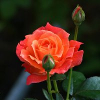 Роза :: kolyeretka
