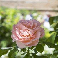 Розовая роза :: Sergey Lebedev