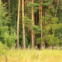 Манит лес в свою прохладу :: Татьяна Ломтева