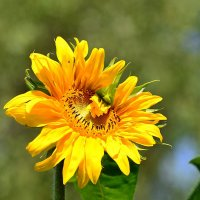 Цветок, влюблённый в солнце!.. :: Ольга Русанова (olg-rusanowa2010)