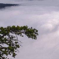 Сосна в тумане :: Георгий Морозов