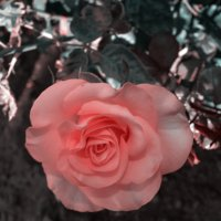 о роза! :: Роза Бара