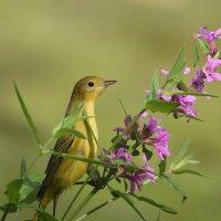 yellow warbler :: Naum