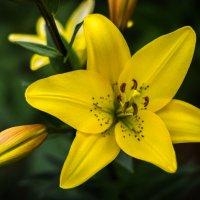 Жёлтая лилия :: Владимир Бобришев