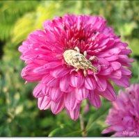 Разноцветье георгин :: Лидия (naum.lidiya)