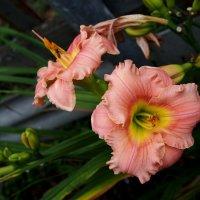 садовая лилия :: elena manas
