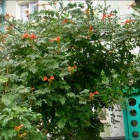 Кампсис всё ещё радует нас своим цветением :: Нина Корешкова