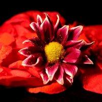 В лепестках роз или Красное на черном :: Dr. Olver ( ОлегЪ )