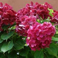 """""""Гортензия цветет. Ее соцветия шарами над землей. Летят и кажутся как будто неземными..."""" :: Galina Dzubina"""