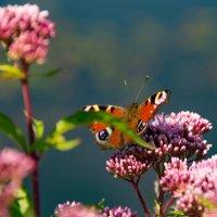 Бабочка :: mishel astoria