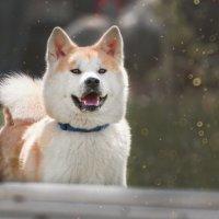 Акита-ину - Японская собака :: Валерия Репей
