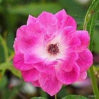 очарование одинокой розы :: Олег Лукьянов