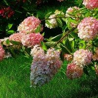 Буйное цветение гортензии :: Милешкин Владимир Алексеевич