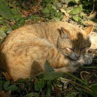 Какого цвета снятся сны рыжему коту ? :: Анатолий. Chesnavik.
