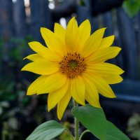 Солнца цветок :: Владимир Куликов