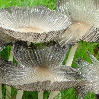 грибы Coprinus :: Анатолий Аверкин