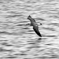 Вечерний полет над волнами :: Ольга Голубева