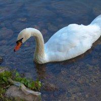 Белый лебедь :: Анатолий Иргл