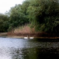 Лебеди на реке :: Татьяна Королёва