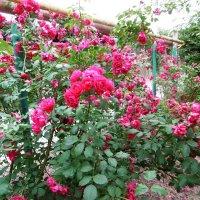 Розы на заборе :: татьяна