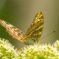 Бабочка :: Марина Кириллова