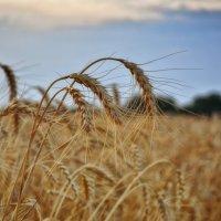 Ещё немного о лете и пшеничных полях... :: *MIRA* **