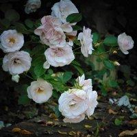 Последние розы лета :: spm62 Baiakhcheva Svetlana