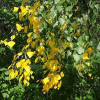 Жёлтые листочки берёзы :: Маргарита Батырева