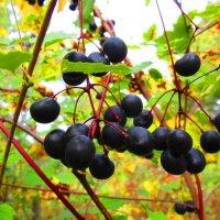 Лесные ягодки. :: Татьяна ❧