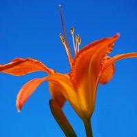 Огненный цветок :: Swetlana V