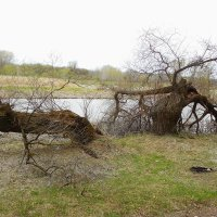поломанное дерево :: Александр Борисович