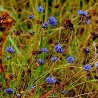 синие на лугу :: Александр Прокудин