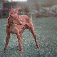Фараонова собака ESTRELLA FEERIKA PATRICK WILL BE LUCKY :: Валерия Репей