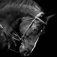 Черный красавец :: Julia Shashinova