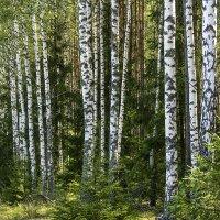 Леса в Белоруссии :: Игорь Сикорский