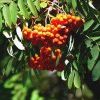 Рябины гроздья алые... :: Тамара (st.tamara)
