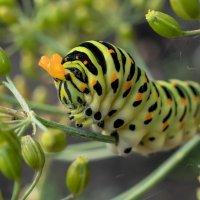 гусеница махаона - очень красивой бабочки, которая занесена в Красную Книгу Латвии. :: Viktor Makarov