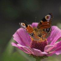 Бабочка и цветок :: Елена Ахромеева