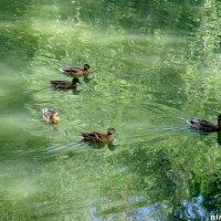 Река Темерник и утки :: Нина Бутко