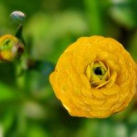 Лютик садовый :: Светлана