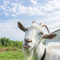 Весёлая коза :: Alex Bush